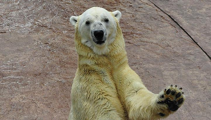 Singapore bids farewell to its last and only locally born polar bear